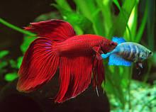 Рибка півник вуалевый червоний (4-5 см)