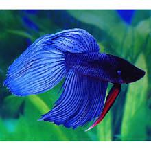 Рибка півник вуалевый синій (4-5 см)