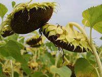 Семена подсолнечника ВНИС Атилла