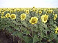 Семена подсолнечника ВНИС Рембо