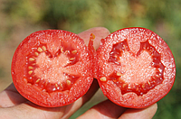 ДОНАЛЬД F1 - семена томата детерминантного 1 000 семян, Nunhems