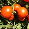 ШЕДИ ЛЕДИ F1 - семена томата детерминантного 1 000 семян, Nunhems