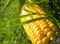 Семена кукурузы Соколов 407 МВ, простой гибрид (ФАО-400)