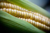 Семена кукурузы Даниилл, простой гибрид (ФАО-280)