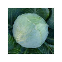Семена Капуста белокочанная KS 60 F1, 2500 семян Kitano Seeds