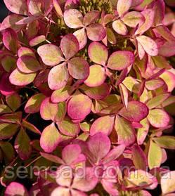 """Гортензія волотиста """"Пастель Грін"""" \ hydrangea paniculata Pastel Green ( саджанці 2 роки )"""