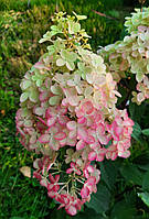 Гортензия метельчатая Фрайз Мельба / Hydrangea paniculata Fraise Melba (С3)