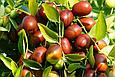 Фініки Шоколадні Іран 200г, темний шоколадний фінік з кісточкою Іранський без цукру, фото 3