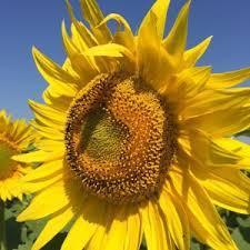 Насіння гібриду соняшника Іскандер (Іскандер)