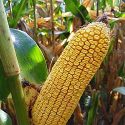 Насіння кукурудзи  Дніпровський-  181 СВ