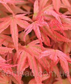 Клен пальмолистний Фенікс \ Acer palmatum 'Phoenix' ( саджанці 3 роки С2л )