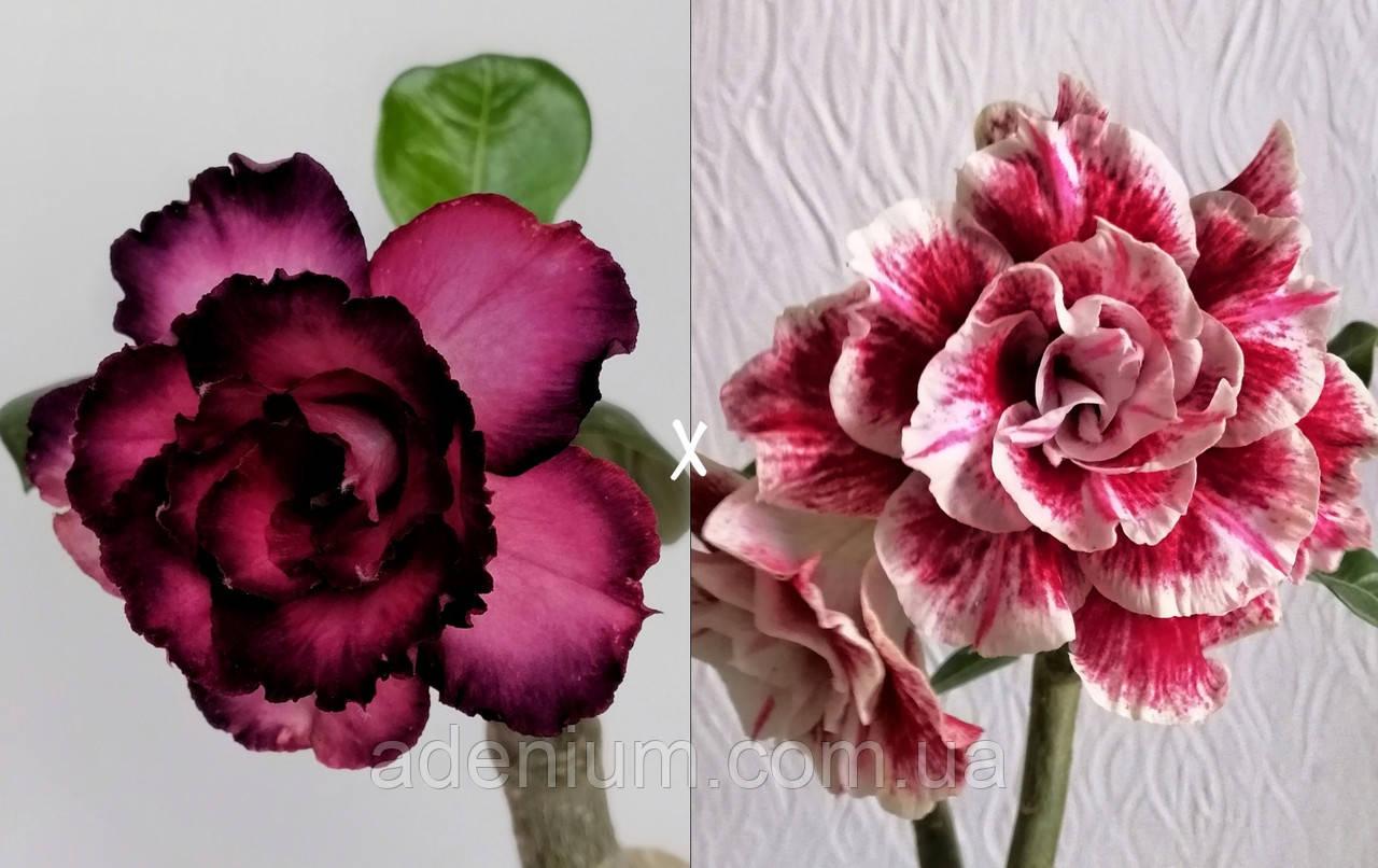 Сіянець Miralibis × Flower Girl (сіянець #3)