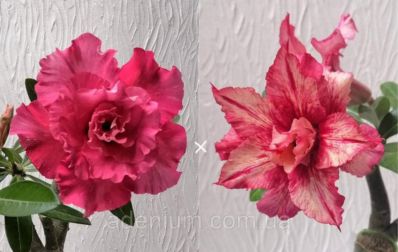 Сеянец Camellia × Feng Qiu Huang (сеянец #1)