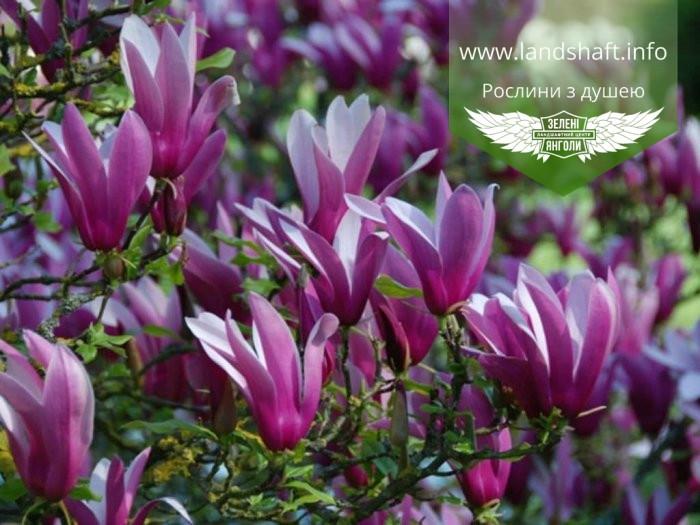 Magnolia liliiflora 'Nigra', Магнолія лілієцвітна 'Нігра',C3 - горщик 3л