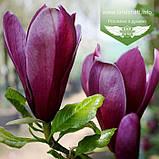 Magnolia liliiflora 'Nigra', Магнолія лілієцвітна 'Нігра',C3 - горщик 3л, фото 2