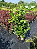 Magnolia liliiflora 'Nigra', Магнолія лілієцвітна 'Нігра',C3 - горщик 3л, фото 5