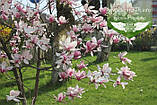 Magnolia x soulangeana 'Alexandrina', Магнолія Суланжа 'Александріна',C3 - горщик 3л, фото 2