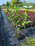 Magnolia x soulangeana 'Alexandrina', Магнолія Суланжа 'Александріна',C3 - горщик 3л, фото 4