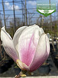 Magnolia x soulangeana, Магнолія Суланжа,C3 - горщик 3л, фото 2