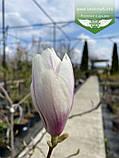Magnolia x soulangeana, Магнолія Суланжа,C3 - горщик 3л, фото 3