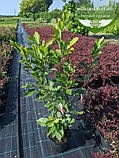 Magnolia x soulangeana, Магнолія Суланжа,C3 - горщик 3л, фото 4