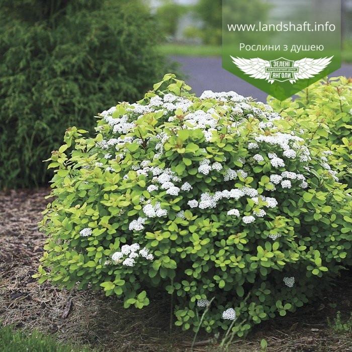 Spiraea betulifolia 'Tor', Спірея березолиста 'Тор',C2 - горщик 2л