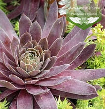 Sempervivum x hybridum 'BigSam Coral Gray', Молодило 'БігСем Корал Грей',C2 - горщик 2л