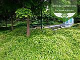 Stephanandra incisa 'Crispa', Стефанандра надрізанолиста 'Кріспа',P7-Р9 - горщик 9х9х9, фото 6