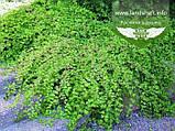 Stephanandra incisa 'Crispa', Стефанандра надрізанолиста 'Кріспа',P7-Р9 - горщик 9х9х9, фото 7