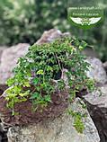Stephanandra incisa 'Crispa', Стефанандра надрізанолиста 'Кріспа',P7-Р9 - горщик 9х9х9, фото 9