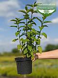 Salvia hybrida 'Amante', Шавлія гібридна 'Аманте',C2 - горщик 2л, фото 2