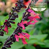 Salvia hybrida 'Amante', Шавлія гібридна 'Аманте',C2 - горщик 2л, фото 3