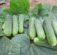 ДЖУСТІНА F1 - насіння огірка партенокарпічного 1 000 насінин, Nunhems, фото 1
