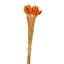 Стабилизорованный фалярис, червоно-оранжевий
