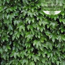 Parthenocissus tricuspidata 'Diamond Mountains', Дівочий виноград тризагострений 'Даймонд Маунтейнз',C2 -