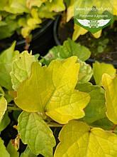 Parthenocissus tricuspidata 'Fenway Park', Дівочий виноград тризагострений 'Фенвей Парк',C2 - горщик 2л