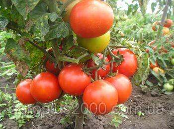 Семена томата Чайка штамбовый весом 50 грамм, фото 1