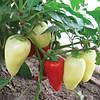 Семена перца сладкого  Белозерка (Лумина)  весом 50 грамм