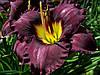 104.Лилейник  Super Purple