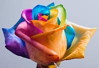 Радужные розы оптом голландские , blue rose