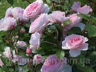 Роза плетистая James Galway (Джеймс Гелвей), саженец