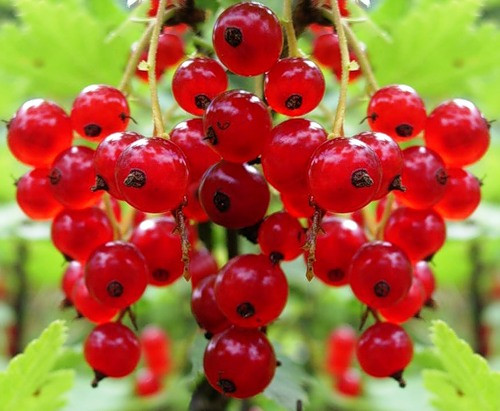 Капельный полив красной смородины