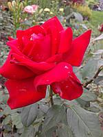 Саженецы розы Дам де Кёр