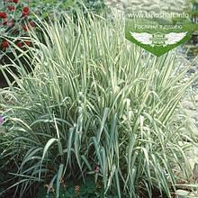 Канаркова трава (Phalaris)