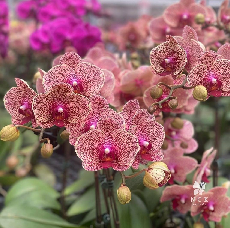 """Орхидеи. Сорт Phal. I-Hsin Sesame, размер 2.5"""" без цветов"""
