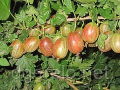 Крыжовник ранний Ксения. Очень крупная ягода