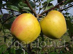 Саженцы яблони зимней Опал. Имунный сорт