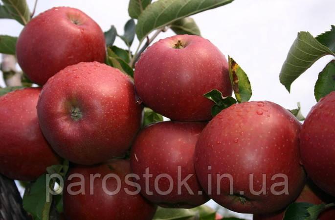 Яблоня Ред Джонапринц. (Б7-35). Зимний сорт.
