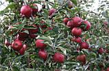 Яблоня Ред Джонапринц. (Б7-35). Зимний сорт., фото 2