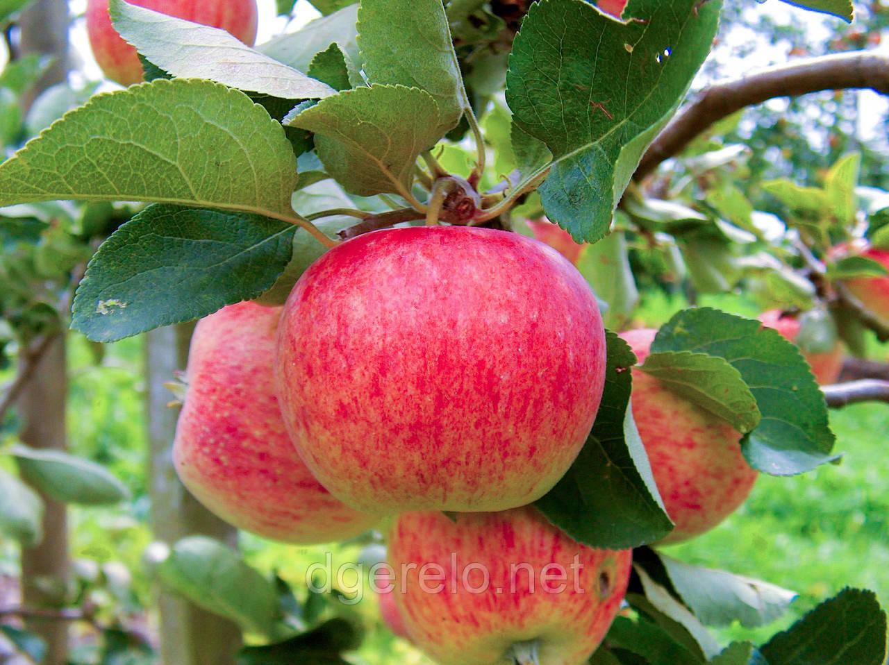 Яблуня річна Пірос.